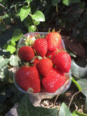 FRAISE BARQUETTE Clery 500 gr